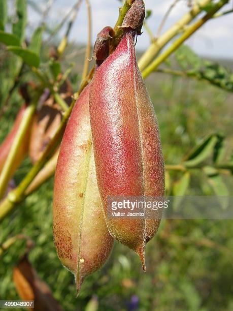 Iberian Milk-vetch (Erophaca baetica)