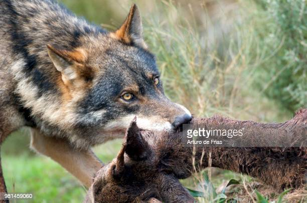 Iberian Wolf alpha male (Canis lupus sygnatus)feeding on deer. Photo taken in controlled conditions.