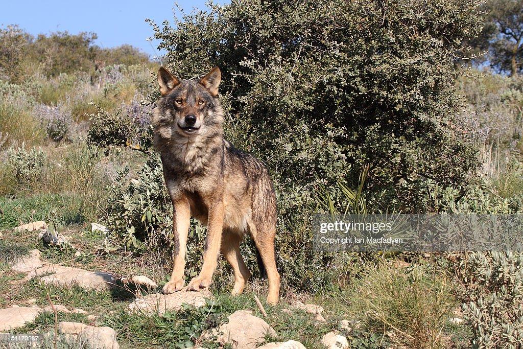 Iberian Wolf, Canis lupus signatus : Foto de stock