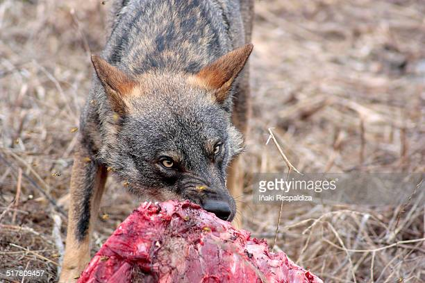 iberian wolf eating - iñaki respaldiza stock pictures, royalty-free photos & images