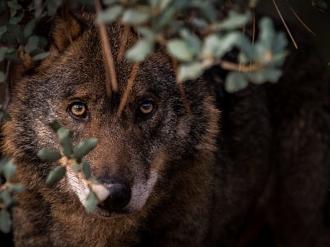 Iberian Wolf (Canis lupus signatus) hidden in the bush 922173238