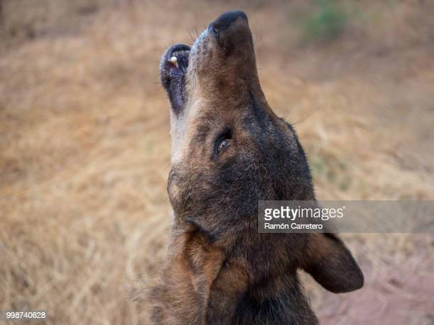 iberian wolf howling in summer - iberian stock photos and pictures
