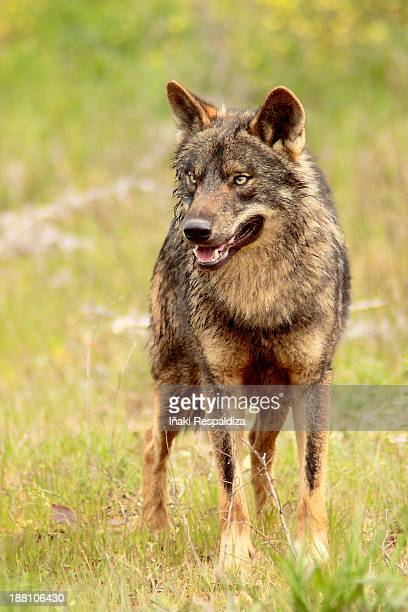 iberian wolf - iñaki respaldiza stock pictures, royalty-free photos & images