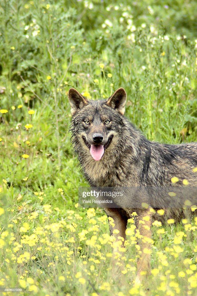 Iberian wolf : Foto de stock