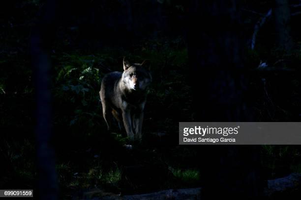 Iberian wolf (Canis lupus signatus). Sierra de la Culebra, Zamora, Villardeciervos