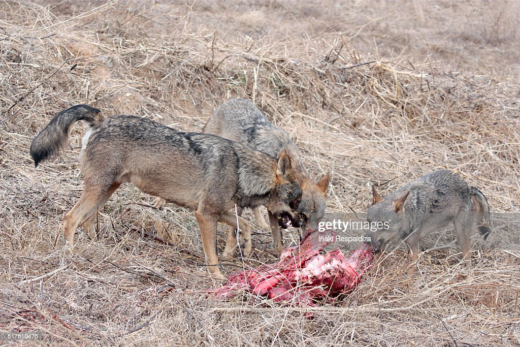 Iberian Wolves in dominance display over prey : Foto de stock