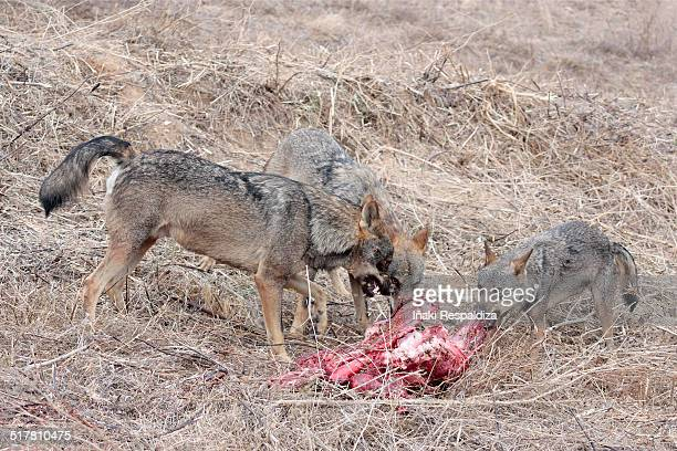 iberian wolves in dominance display over prey - iñaki respaldiza 個照片及圖片檔