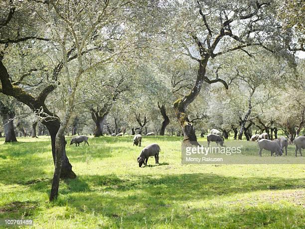 Iberico pigs on farm