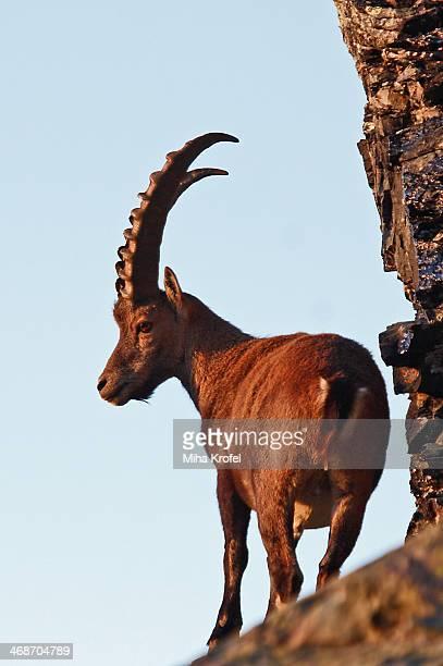 ibex at sunset - parco nazionale del gran paradiso foto e immagini stock