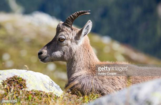 Ibex, Capra ibex on the Aiguille rouge above Chamonix, France.