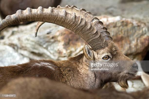 ibex closeup