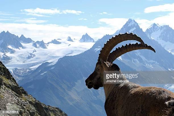 Ibex French Alps near Chamonix