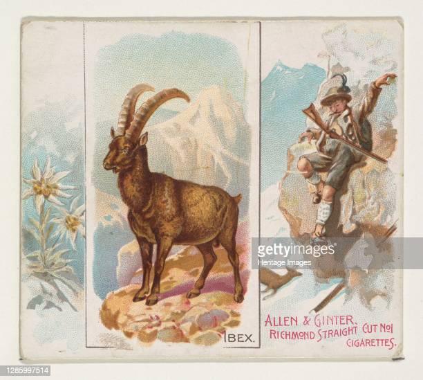 Ibex, from Quadrupeds series for Allen & Ginter Cigarettes, 1890. Artist Allen & Ginter.