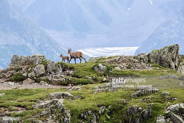 Ibex Haute Savoie France