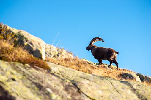 Ibex in Massif du Mont Blanc behind Chamonix - gettyimageskorea
