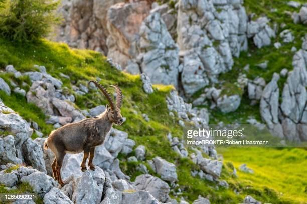 ibex (capra ibex), national park berchtesgaden, berchtesgaden, bavaria, germany - oberbayern stock-fotos und bilder