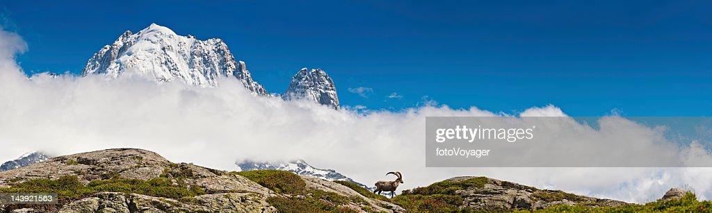 Ibex on mountain ridge overlooked by snow Alpine peaks panorama : Stock Photo