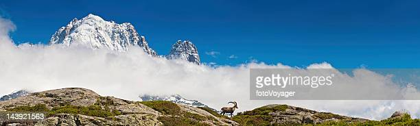 Ibex on mountain ridge overlooked by snow Alpine peaks panorama