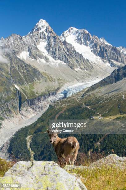 ibex, on the aiguille rouge, chamonix, france, and rapidly retreating argentiere glacier. - retreating ストックフォトと画像