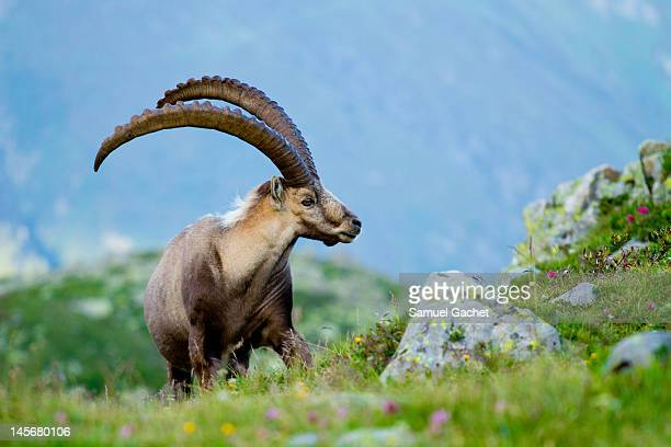 ibex - ibex stock photos and pictures