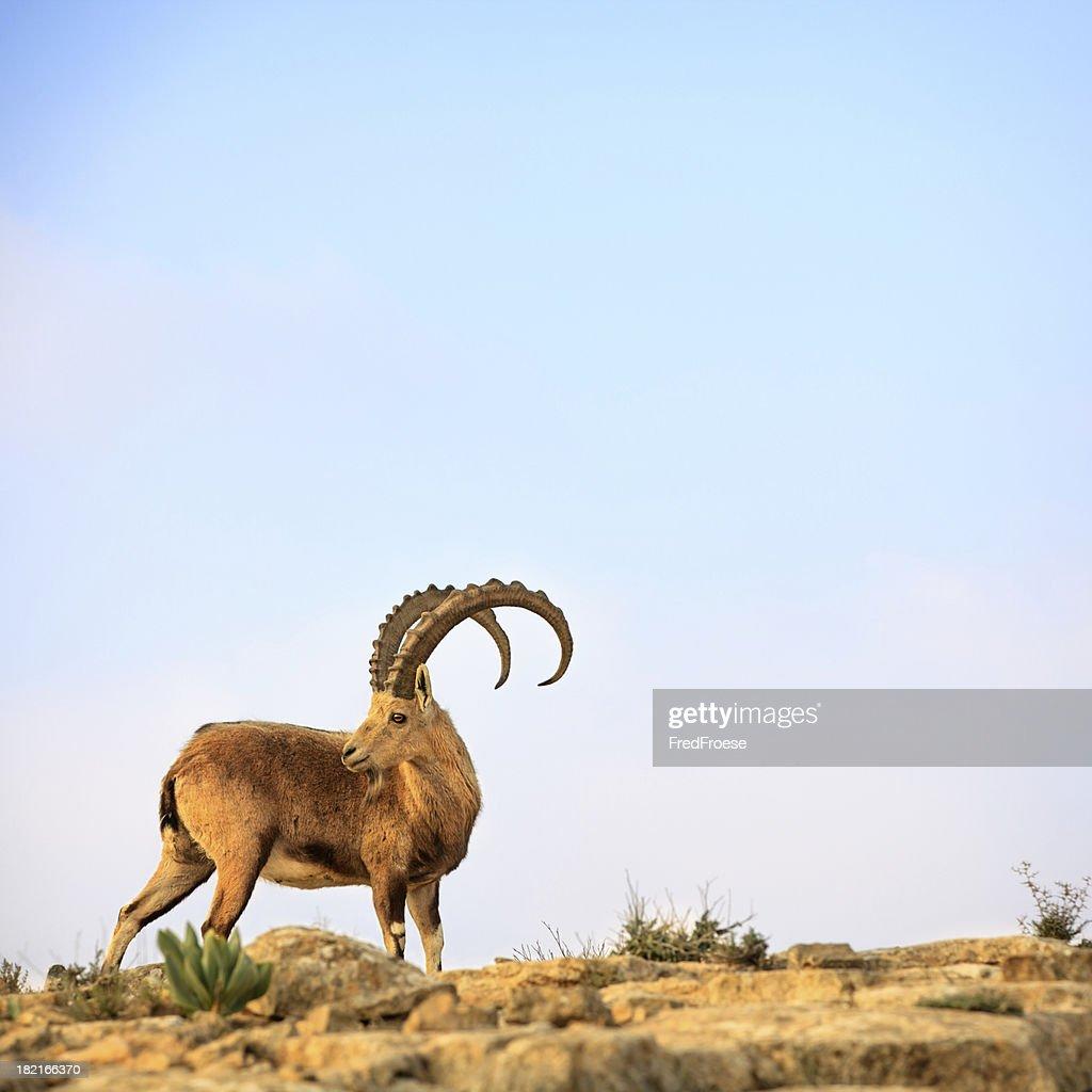 Ibex : Stock Photo