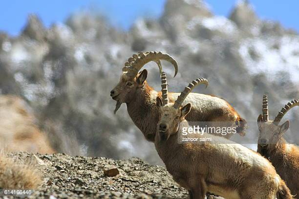ibex - markhor stock photos and pictures