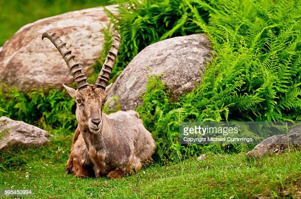 Ibex Resting