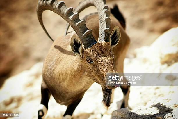 Ibex Standing On Field