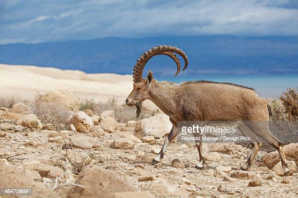 Ibex Walking On The Rocky Ground By The Dead Sea