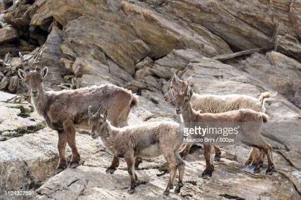 ibexes nursery - colorado national monument stock-fotos und bilder