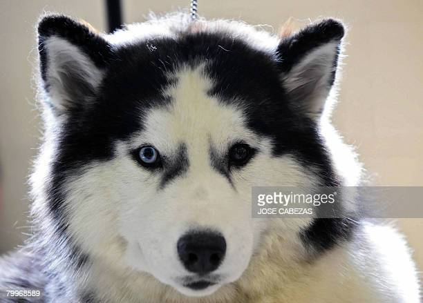 Ibeyi a Siberian Husky dog waits to be groomed before competing at El Salvador Kennel show in San Salvador on February 24 2008 Over 200 breeders of...