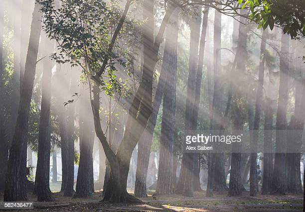 Ibirapuera parks trees in the mist, with light rays