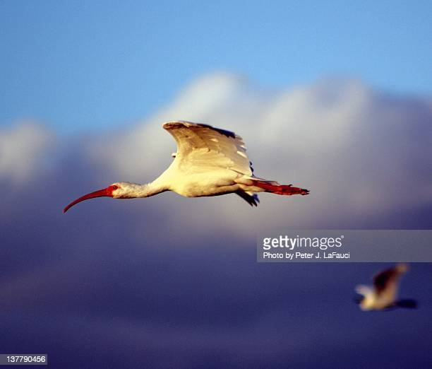 ibis at sunset in flight - fauci stock pictures, royalty-free photos & images