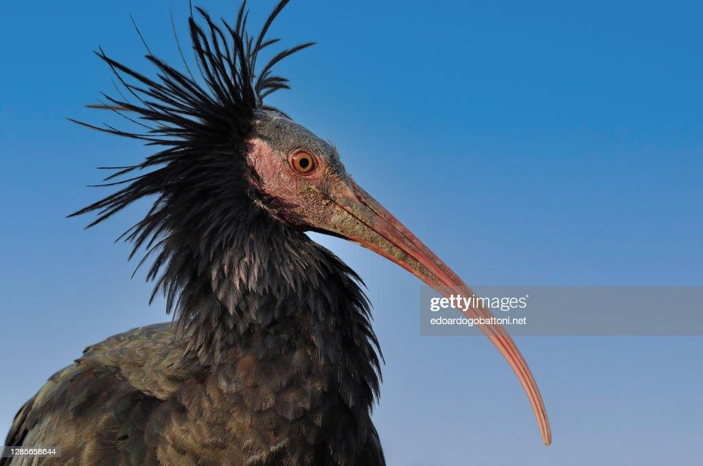 Ibis eremita - bird : Foto stock