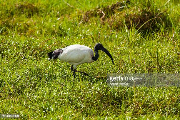 ibis in the grass, amboseli, kenya - anton petrus stock pictures, royalty-free photos & images