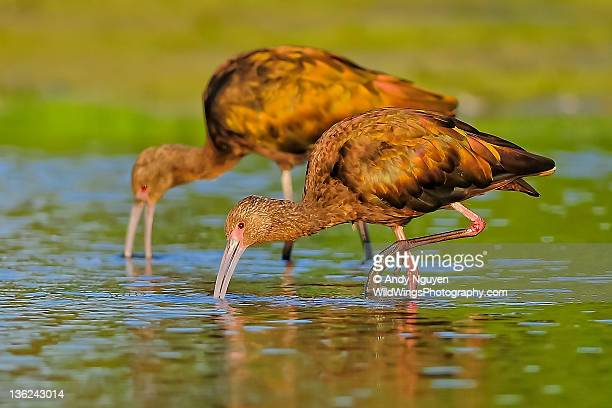 Ibises in soft light