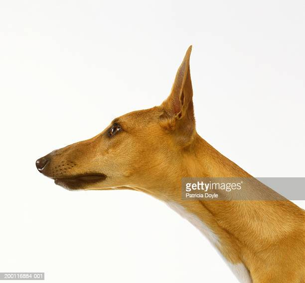 ibizan crossbreed against white background, profile - testa di animale foto e immagini stock