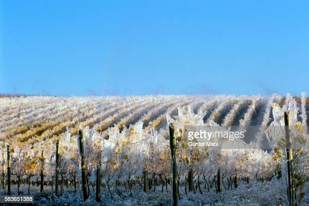Ice Covered Vineyard for Ice Wine Harvest