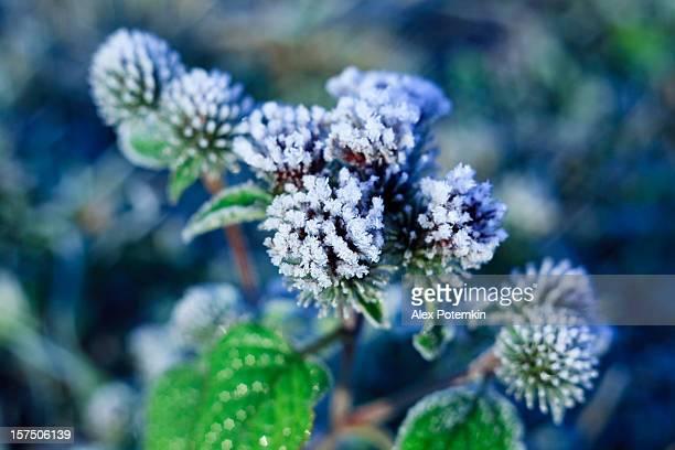 de cristais de gelo de frozen sobre as folhas da planta - novembro azul - fotografias e filmes do acervo