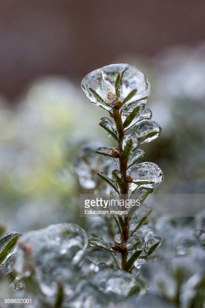 Ice encrusted plant after an ice storm in Kentucky USA