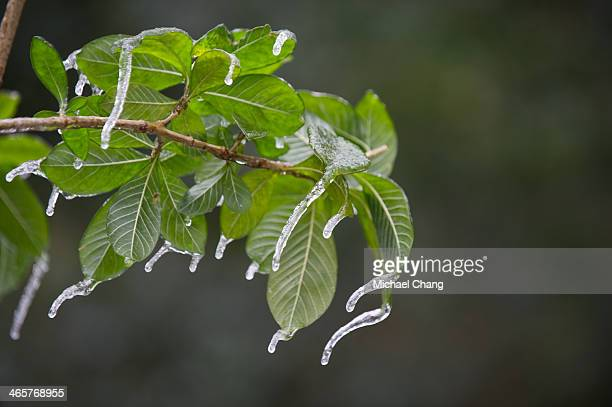 60 Top Southern Magnolia Tree Pictures Photos Images Getty Images