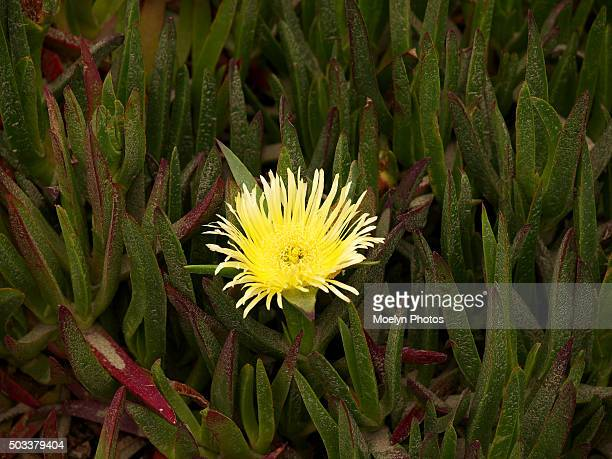 ice grass with yellow flower-east bay - east bay regional park stock pictures, royalty-free photos & images