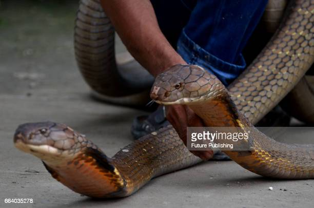 Ice Habibi aged 24 shows his pets the wild King Cobra's in the Mentulik village Kampar Riau Indonesia on April 1 2017 Ice maintains two long King...