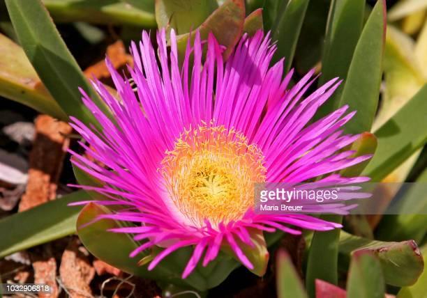 Ice Plant, Highway Ice Plant, Pigface or Hottentot Fig (Carpobrotus edulis), Malia, Crete, Greece