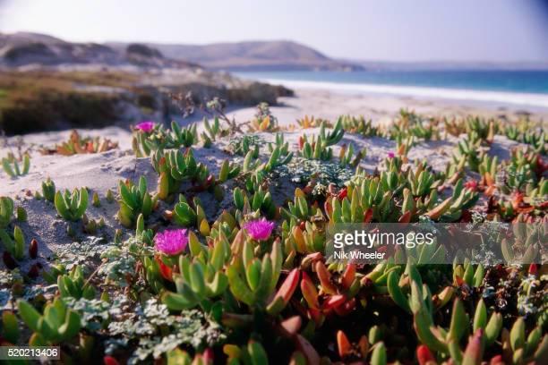ice plants on skunk point beach - marina wheeler foto e immagini stock