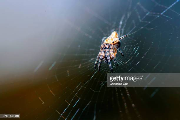 ice spider on the web
