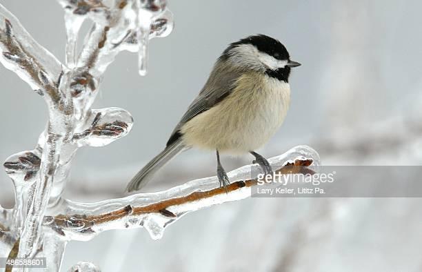 Ice storm Chickadee