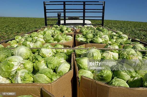 Iceberg Lettuce Boxed and Loaded on Truck