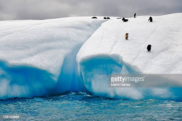 Iceberg with penguins including an albino, Antarctica