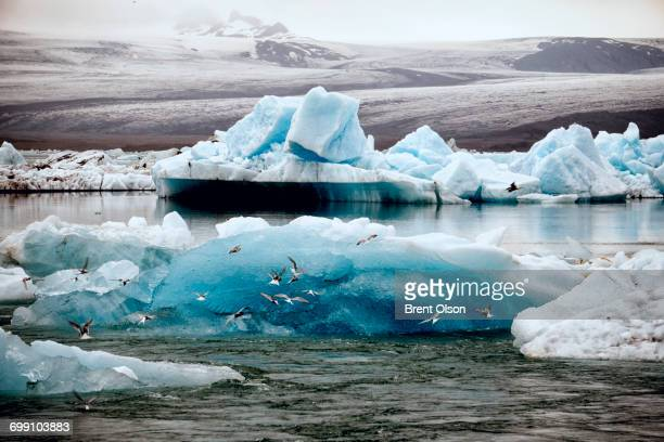 icebergs and terns at jokulsarlon - breidamerkurjokull glacier stock photos and pictures